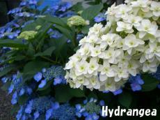 hydrangea_convert_20100718223903.jpg