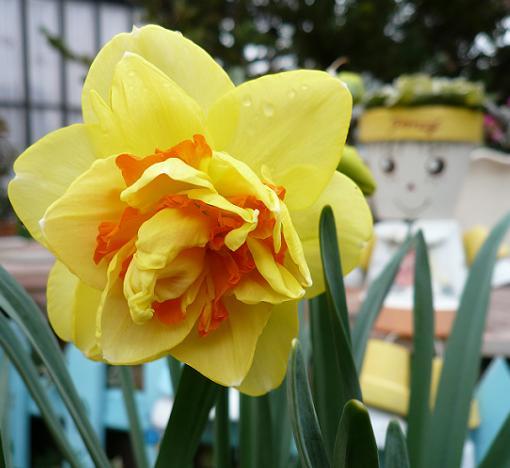 P1200149_ポスト前花壇のタヒチ2