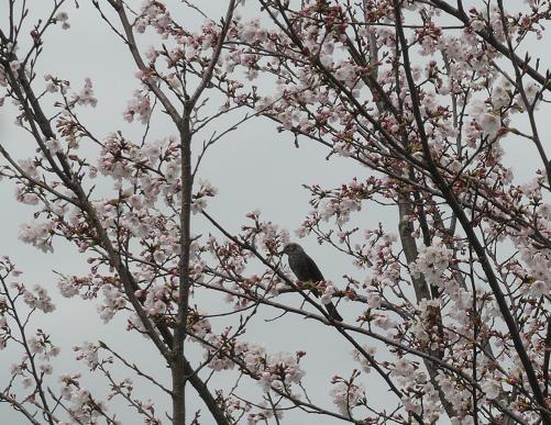 P1200278_桜