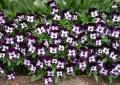 P1200701_門前花壇のビオラ(大)
