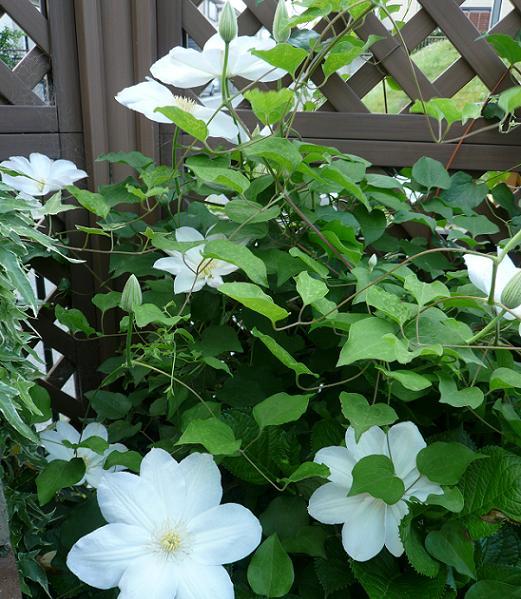 P1230091_中庭側の白雪姫