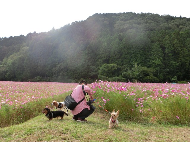 s-2014,10,12 清住コスモス畑 036
