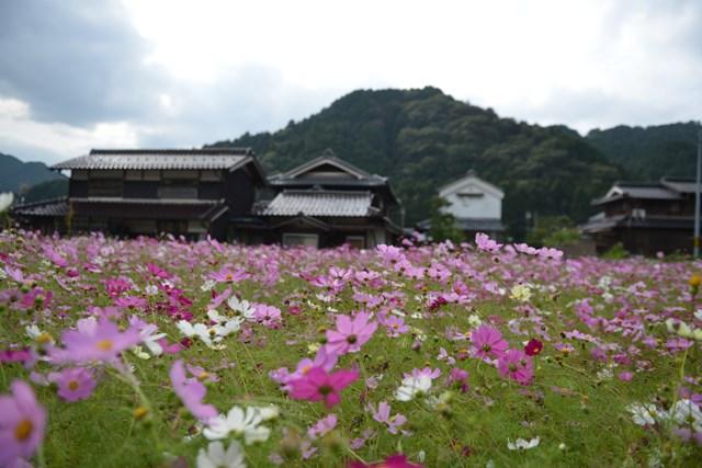 s-2014,10,12 清住コスモス畑 058