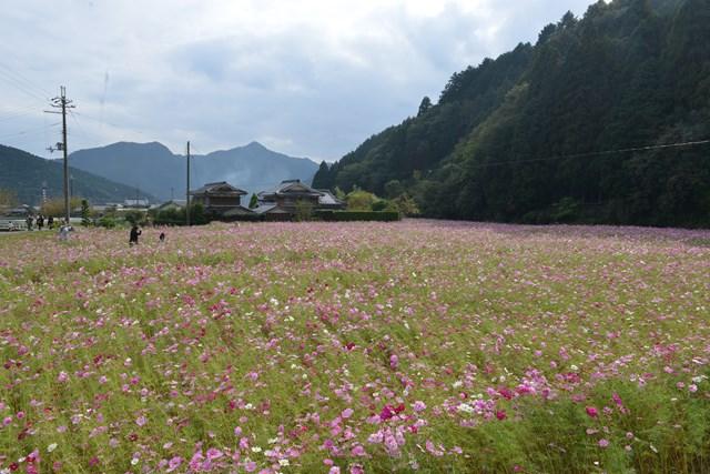 s-2014,10,12 清住コスモス畑 098