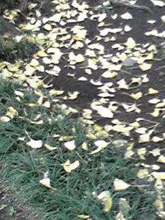 いちょう落ち葉