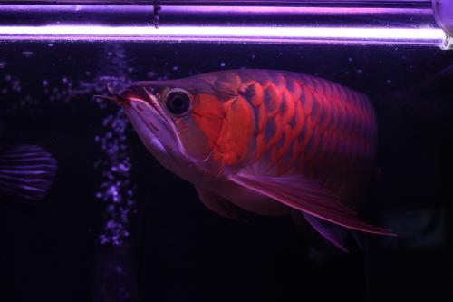 紅姫 2012.1.6   1