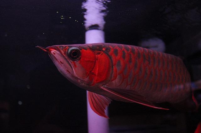 WT 看板魚 超王龍
