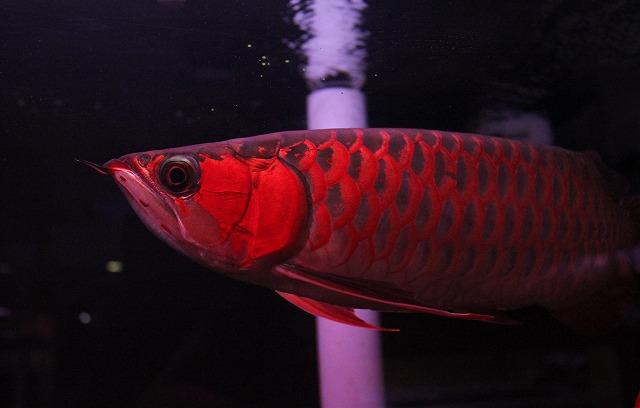 WT 看板魚 超王龍 2012,2,9