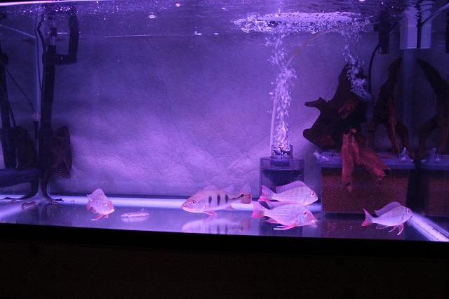 2012,2,28 90cm育成水槽
