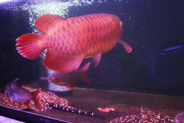 紅姫 白尾紅龍
