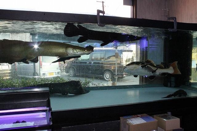 看板 3m大型魚混泳水槽