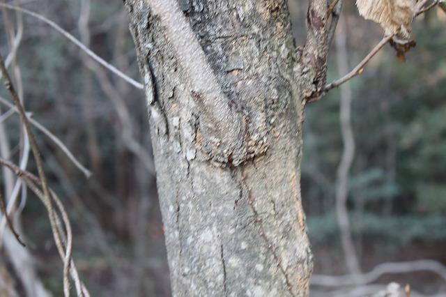ハンノキ 樹皮タイプ1