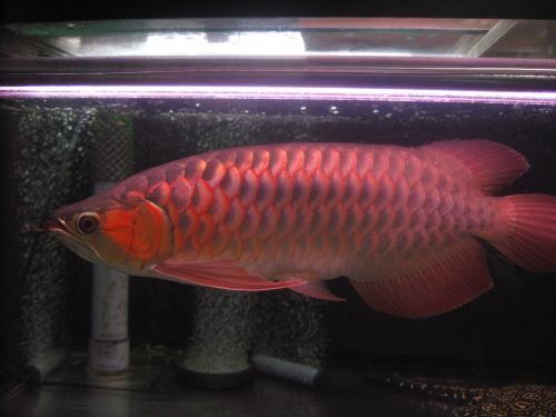 2011,11、1 紅姫 1