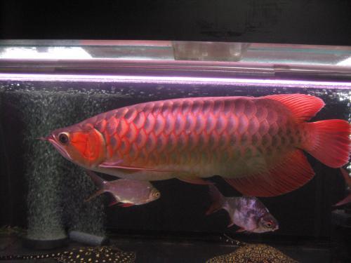 2011,11,1 紅姫 2