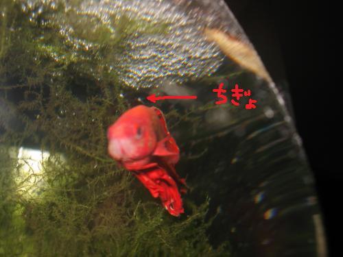 ベタのヤッサン 稚魚誕生!!