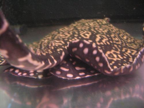 尻鰭にはカワイイ 黒と黄色の水玉模様 クロスジャガー