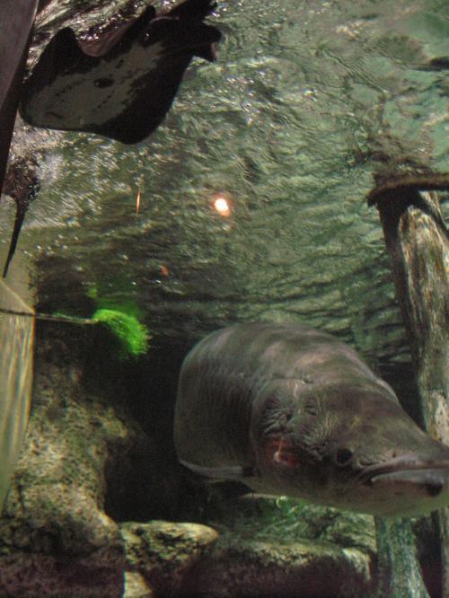 泳ぐモトロ と ピラルクー
