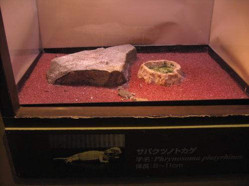サバクツノトカゲ1