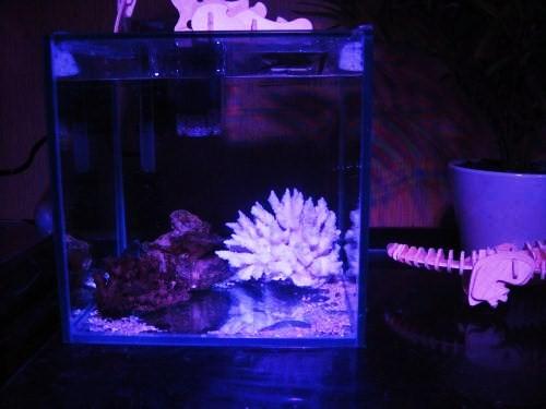 ミドリフグ水槽 7ℓ