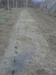 玉ねぎ植え付け2