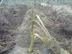 サトイモ収穫前