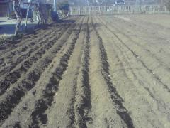 ジャガイモ植え付け1