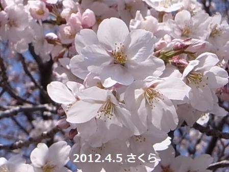 120405sakura2.jpg