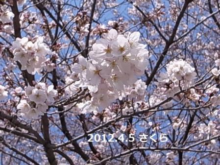 120405sakura4.jpg