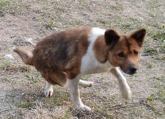 ①-2茶と白の後ろ足の曲がった犬
