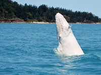 albino-humpback-whale-spotted-s990x742-p-596x446白ザトウクジラ