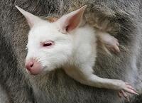 kangarooアルビノカンガルー