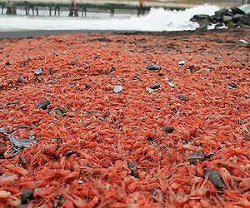 prawns-chile-beach-afp-lg.jpg