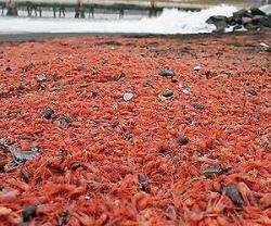 prawns-chile-beach-afp-lg.jpg
