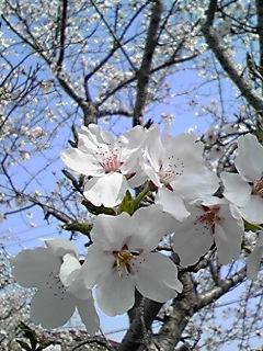 2011年 桜3