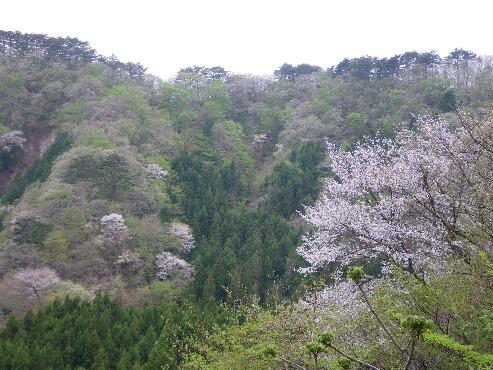 ピクニック 山桜