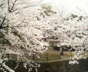 4月11日の桜1