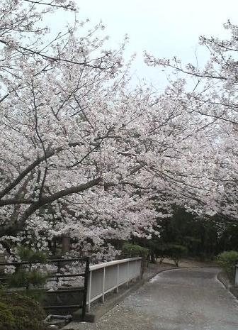 4月11日桜3