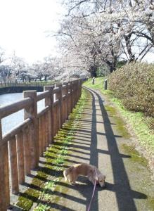 桜&クリーム1