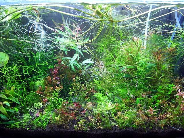 有茎草メイン水槽その1 60×30×40