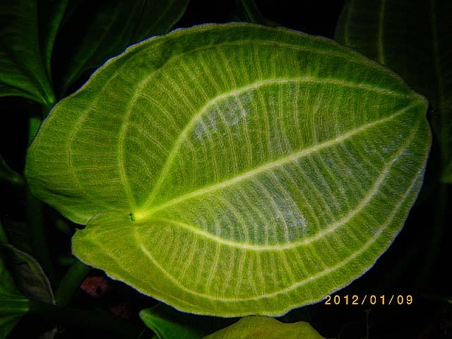 サターン サントアグストの福耳状になった葉