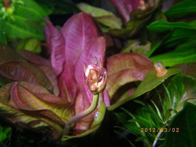 エキノドルスsp. サンパウロ