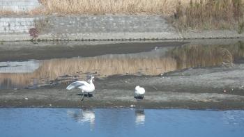 021白鳥さんが二羽、気持ちよさげでした