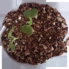 2010.10.12 白菜の植替え⑥