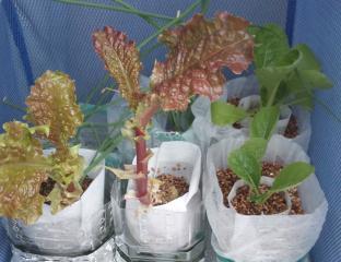 2010.11.13 ペットボトル栽培の野菜たち
