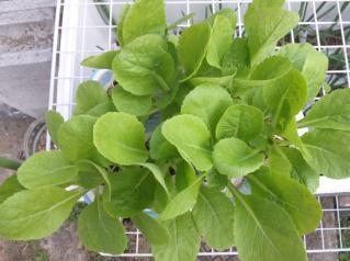 2010.11.16 白菜の様子2