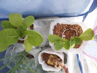 2010.11.21 白菜 ペットボトル栽培1
