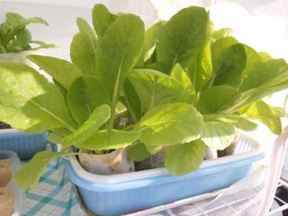 2010.11.21 白菜 トレー栽培1