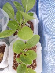 2010.11.29 白菜(ペットボトル栽培2)
