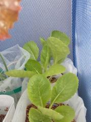 2010.11.29 白菜(ペットボトル栽培1)