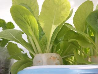 2010.11.29 白菜(トレー栽培2)